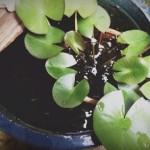 『癒しの小宇宙』睡蓮とメダカのミニビオトープ復活