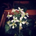 ラデッシュの花